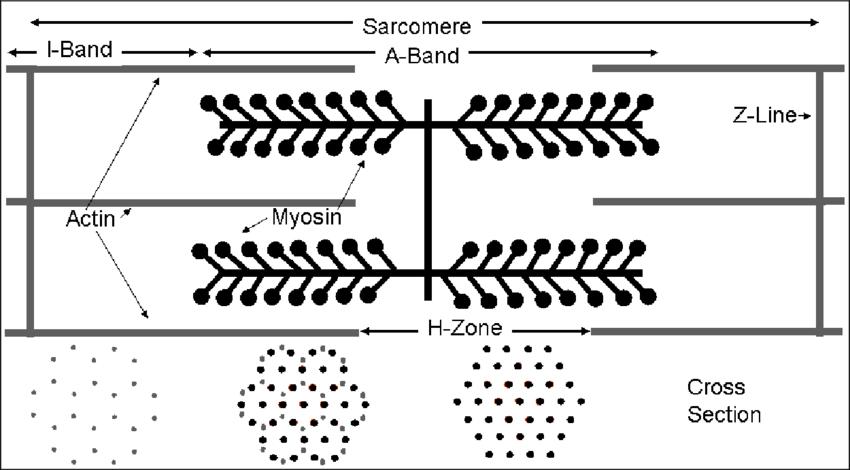 diagram of sarcomere