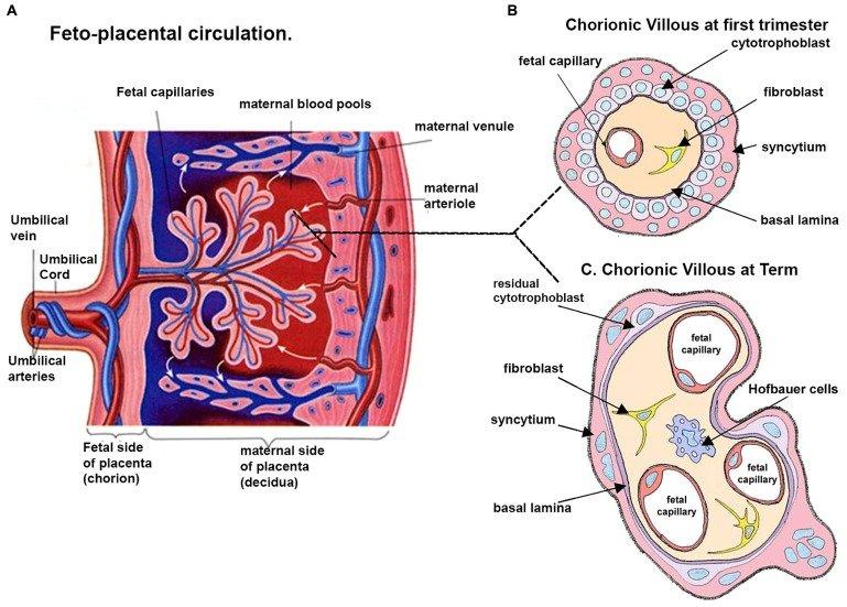 Schematic representation of a human placenta (A) A representative