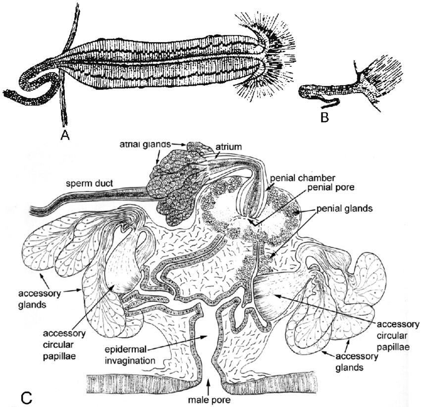 diagram of prostate glands