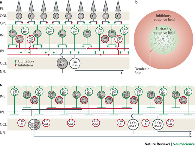 Neuronal organization of the retinaa A wiring diagram showing the