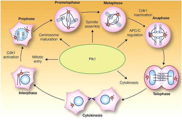 Functions of Plk1 during mitosis APC/C, anaphase-promoting
