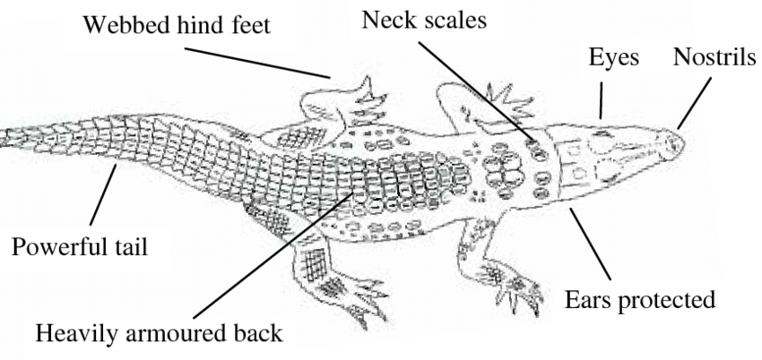 labelled diagram features of saltwater crocodile