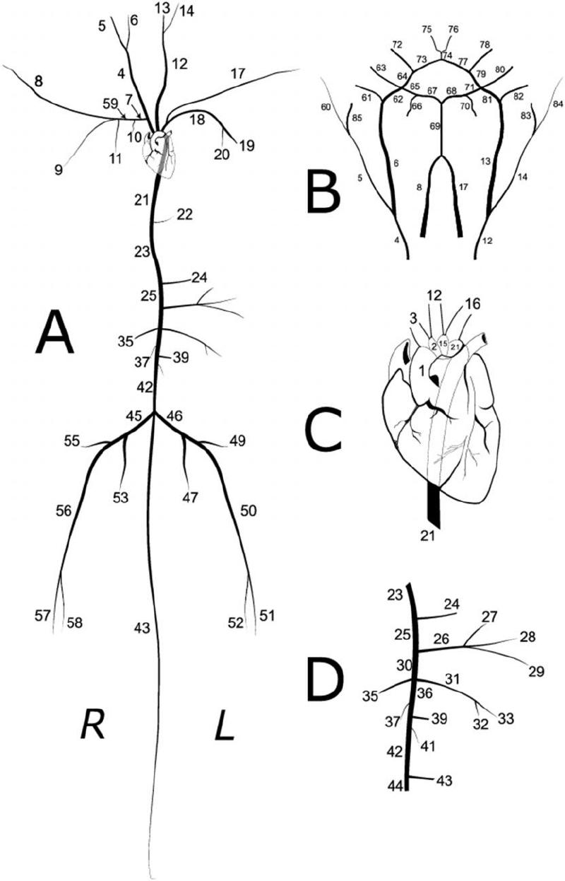 schematic diagram of heart