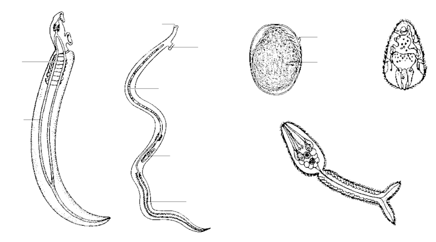 diagram of schistosoma eggs