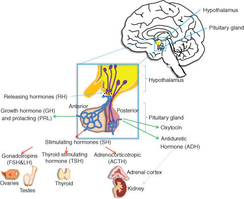 Scheme of hypothalamus-pituitary axis in endocrine system The