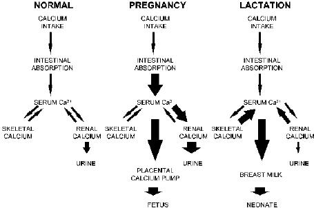 pregnant woman diagram illustration