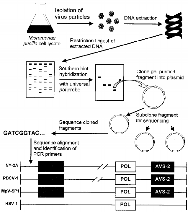 diagram of steps of pcr