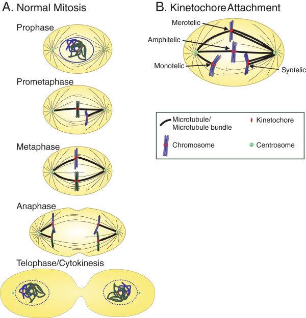 Diagrammatic representation of mitosis, the mitotic apparatus, and