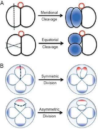 Schematic illustration for different types of cell division (A