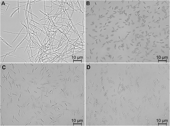 Light microscopy images of U cynodontis 2217 (A, C) and U maydis