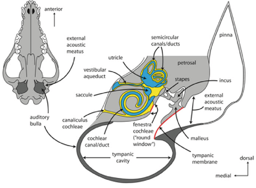 diagram of middle ear cavity