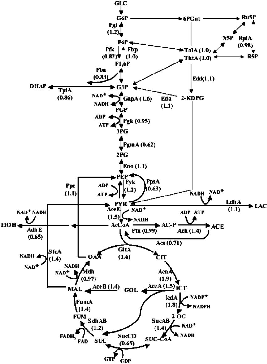 enzymes and metabolic pathways diagram