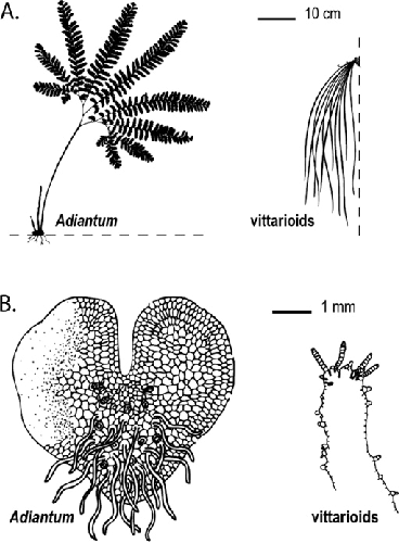sporophyte diagram