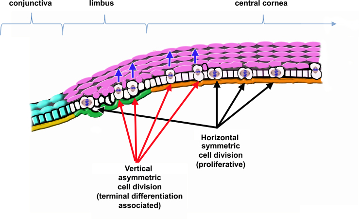 Representation of corneal epithelial cell renewal dependent on