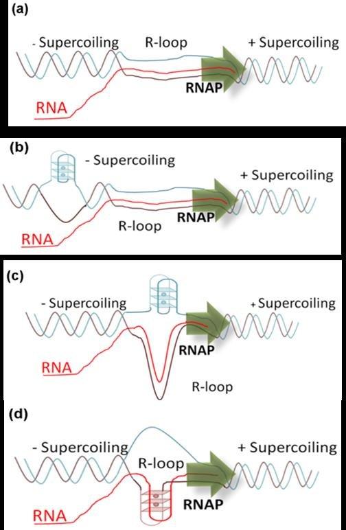 a) General schematic representation of an R-loop, (b) RNA displaces