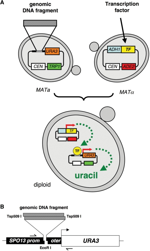 A) Strategy of genomic library screens in yeast to identify binding