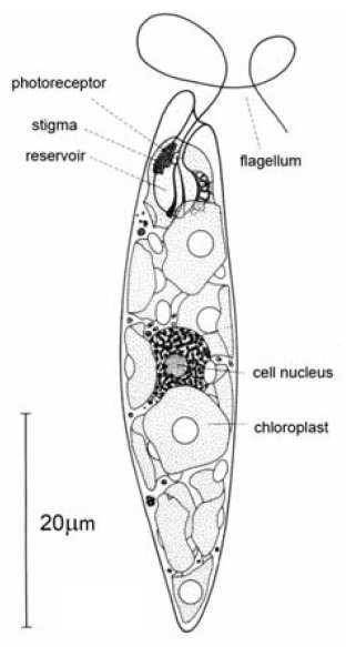 structure function euglena