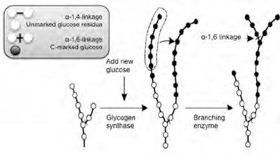 Metabolic Pathways Chart Amazing Glycolysis Glycogenesisglycolysis