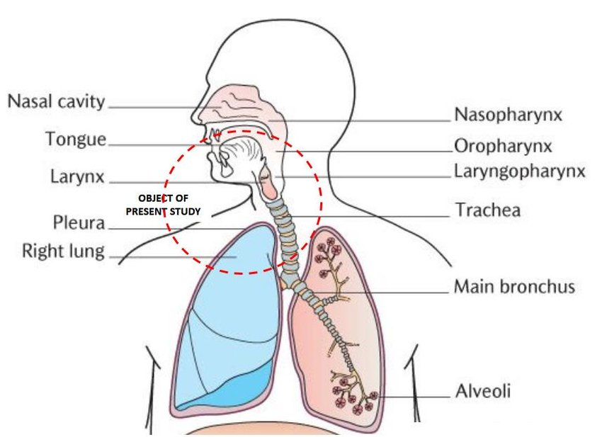Schematic of the respiratory system displayed by the upper and lower