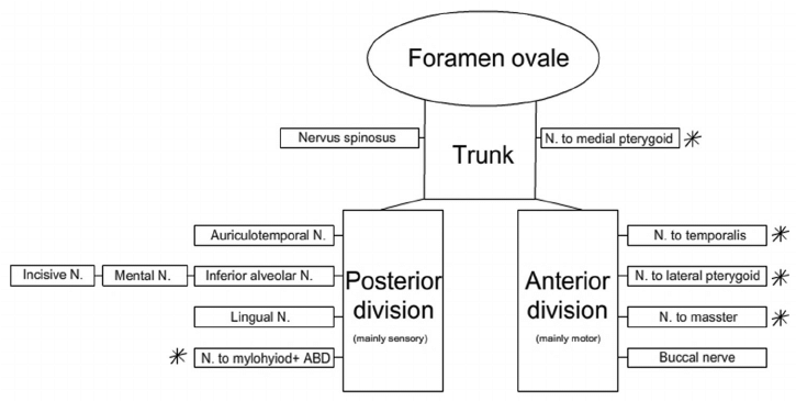 alveolar mucosa diagram