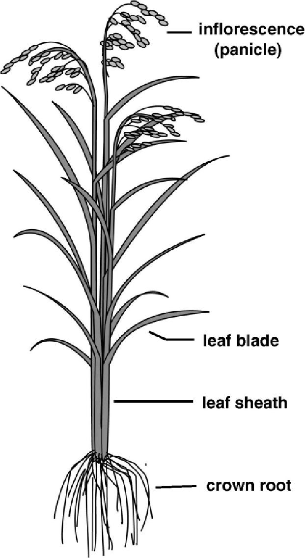 diagram of mature rice plant