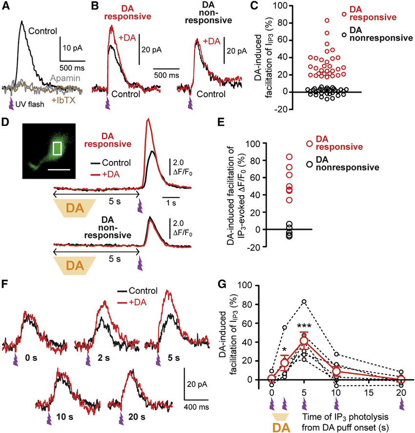 Transient DA Application Increases IP 3-Evoked Ca 2+ Signals in a
