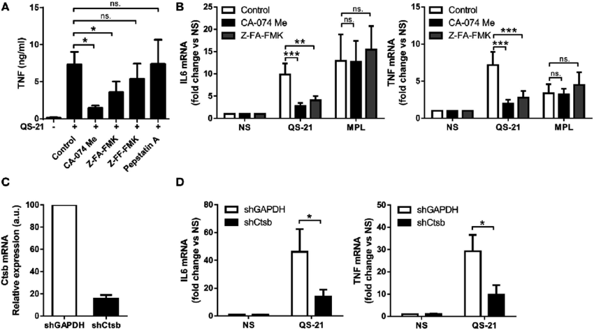 cathepsin b activity is required for an optimal response