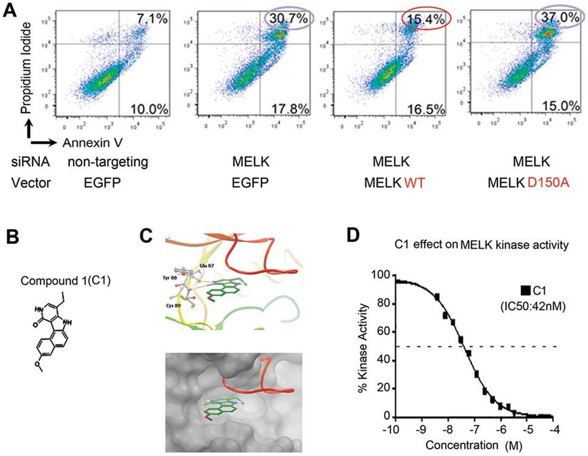 The kinase activity plays an essential role in the action of MELK on