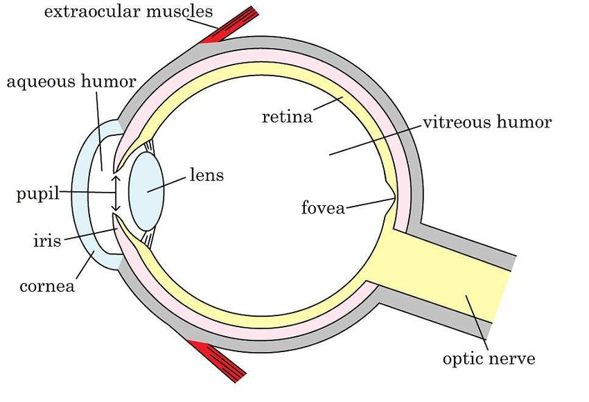 Cross-section through the human eye Diagram by the author