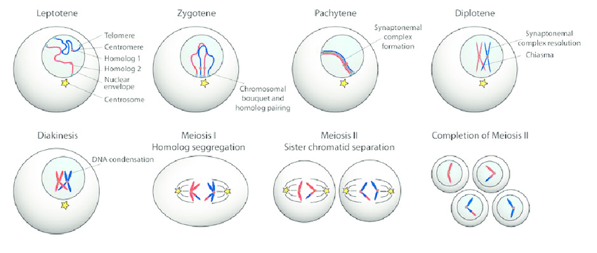 meiosis diagram and phase