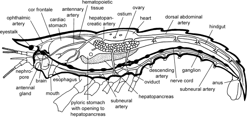 crayfish anatomy diagram