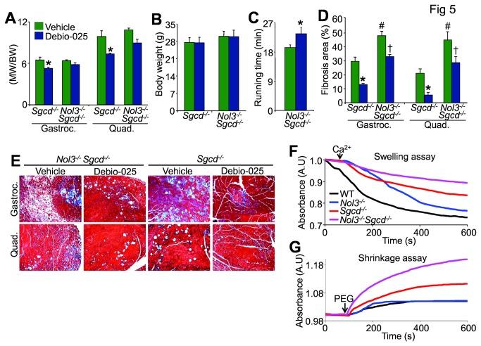 A, Muscle weights normalized to body weight of gastrocnemius and