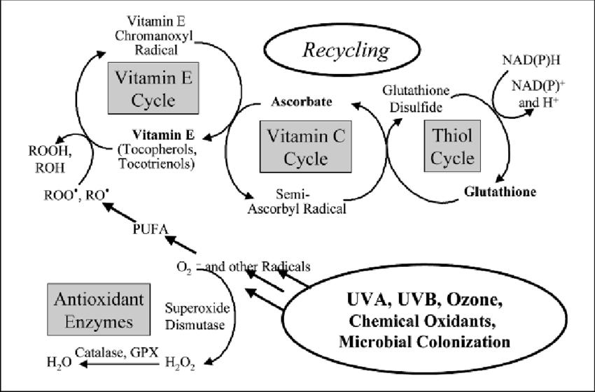 enzymatic cycle diagram