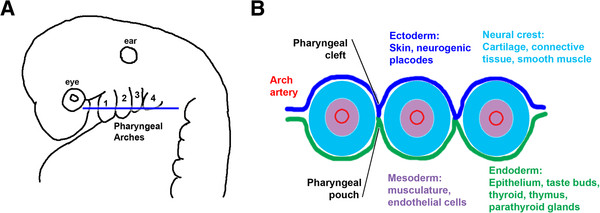 The vertebrate pharyngeal arches and their derivatives (A) Lateral