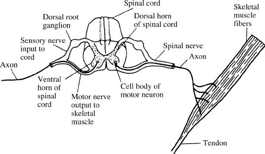 simple motor unit diagram