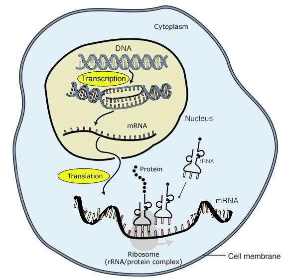 3 Transcription and translation For eukaryote cells, transcription