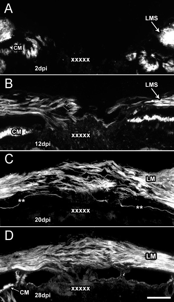 Wound healing of longitudinal muscle following transection Body