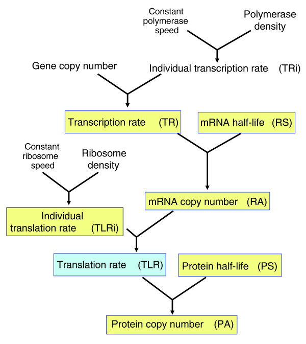 Schematic representation of the steps in the gene expression flow