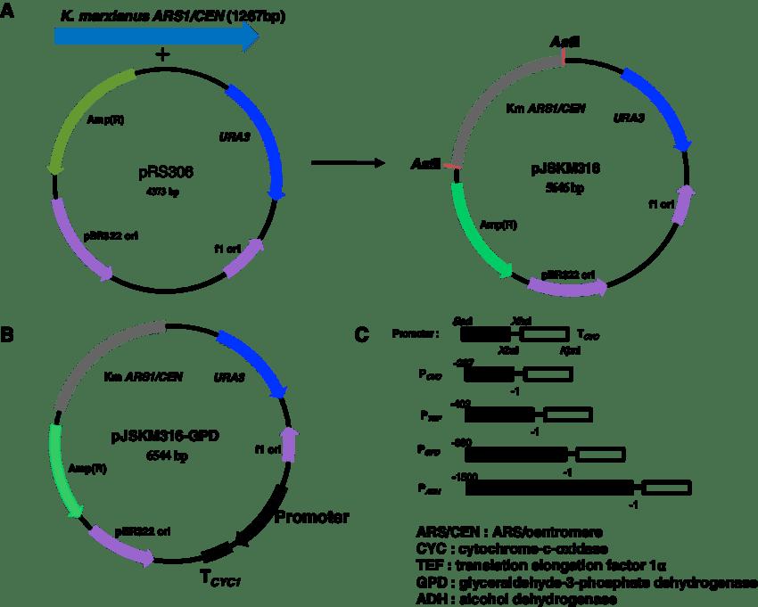 e coli diagram