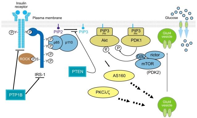 The insulin signaling pathway PTP1B, protein-tyrosine phosphatase