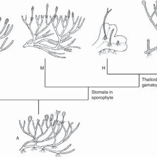 sporangium diagram of moss