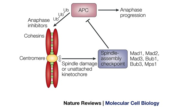 Kinetochore function and anaphase progression The spindle-assembly
