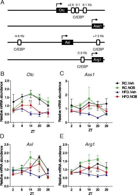 NOB coordinately enhanced urea cycle gene expression a Diagram of - urea cycle
