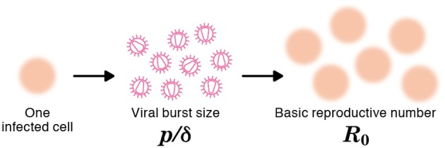 The burst size and the basic reproductive number of a virus The