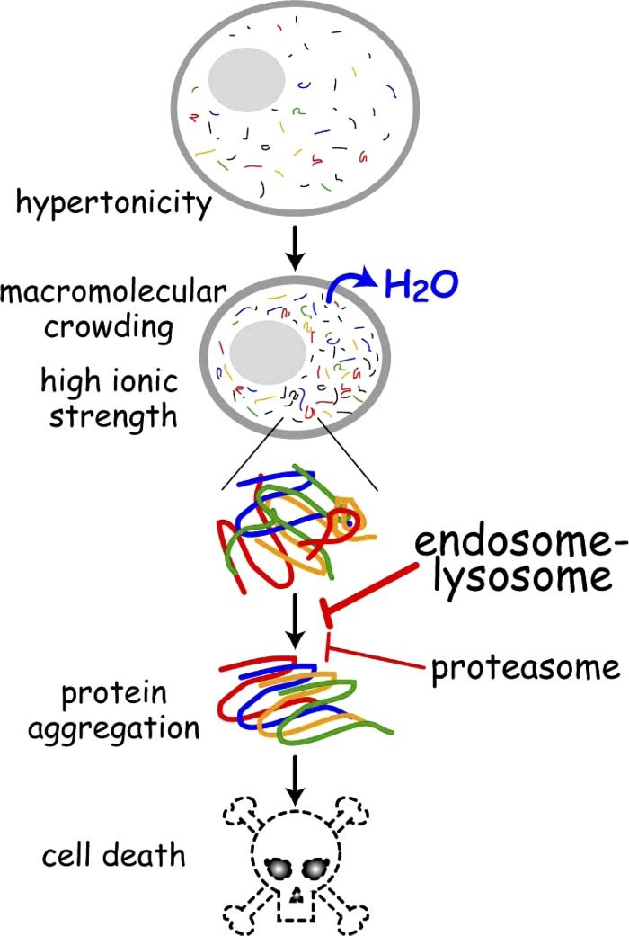 Model of protein homeostasis during hypertonic stress Hypertonicity