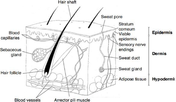 diagram of layers of skin