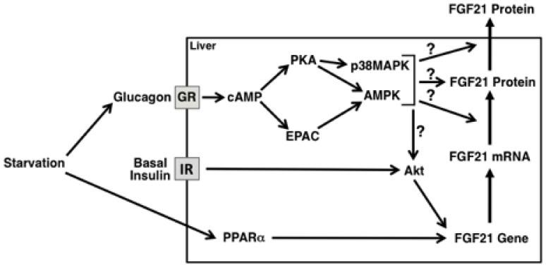 glucagon pathway diagram