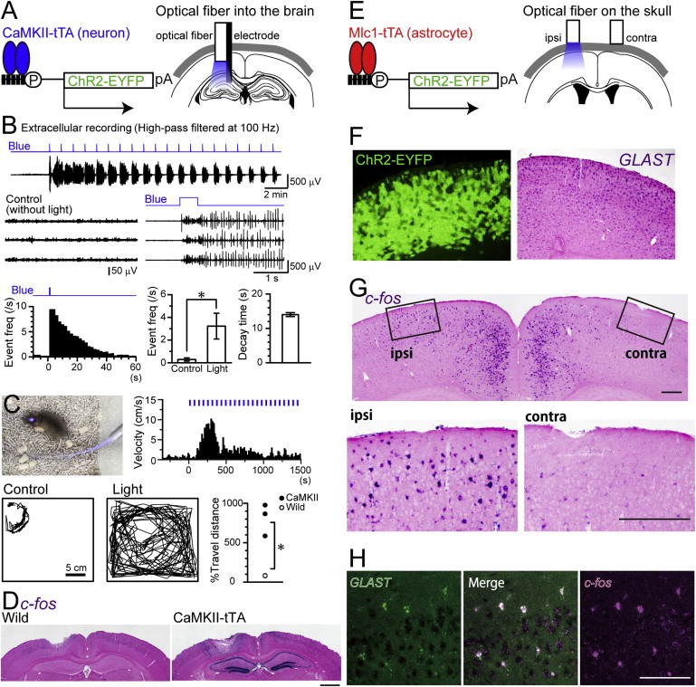 In Vivo Manipulations of Neurons and Glial Cells Download