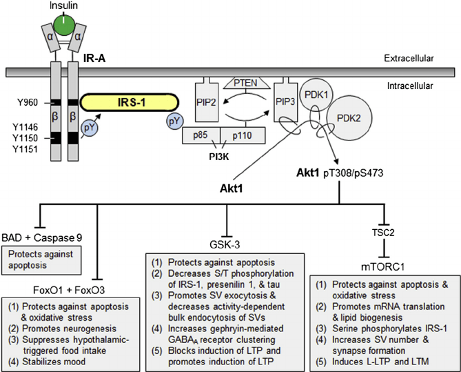 insulin pathway diagram