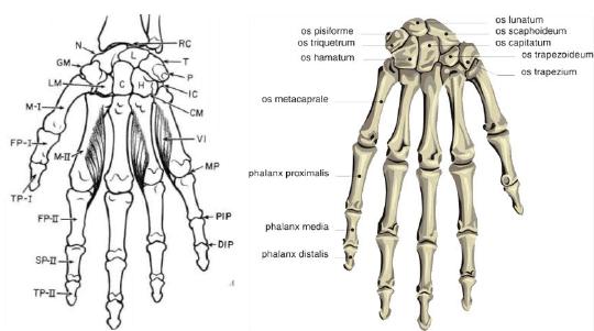 Parts Of Human Hand 4 Download Scientific Diagram